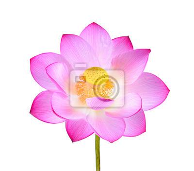 Rosa lotus blume isoliert auf weißem hintergrund fototapete ...