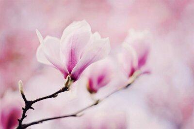 Fototapete rosa magnolie