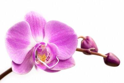 Fototapete Rosa Orchidee Blume auf einem weißen Hintergrund. Orchideeblume getrennt.