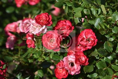 Rose Blume Rot Rosa Strauss Natur Blumen Rosen Garten