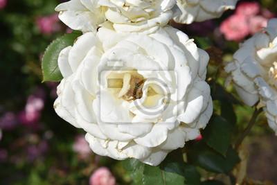 Rose Blume Weiss Rosa Garten Natur Strauss Pflanze Hochzeit