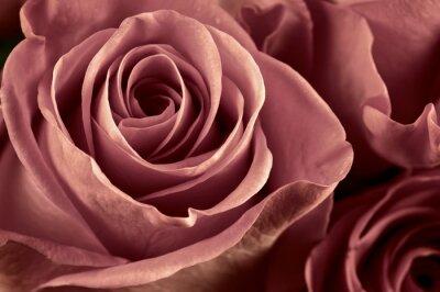 Fototapete Rose Blumen close-up