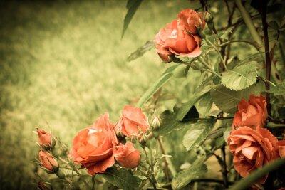 Fototapete Rosen im Garten. Alte stilisierte Bild.
