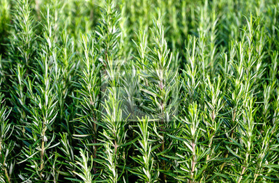 Rosmarin Rosmarinus Officinalis Pflanzen Hintergrund Fototapete