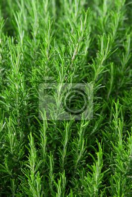 Rosmarinpflanzen Fototapete Fototapeten Würze Rosmarin