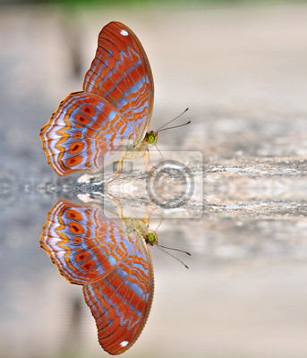 Rot Schmetterling (royal assyrian)