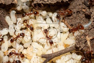 Rote ameisen mit weiße eier auf ameisenhaufen fototapete ...