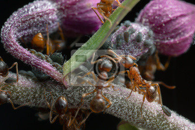 Rote ameisen, myrmica und blattläuse auf orchidee fototapete ...