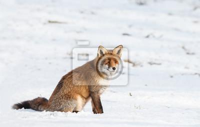 Rote Fuchs Sitzt Im Kalten Schnee Im Winter Fototapete Fototapeten
