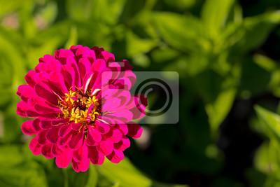 Rote Garten Blume Fototapete Fototapeten Blütenblätter Zinnie