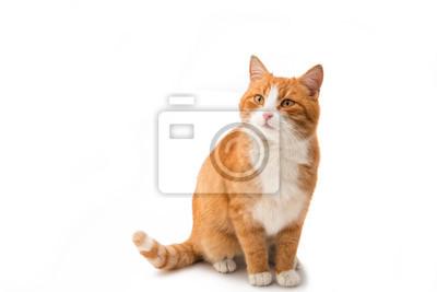 Fototapete Rote Katze isoliert
