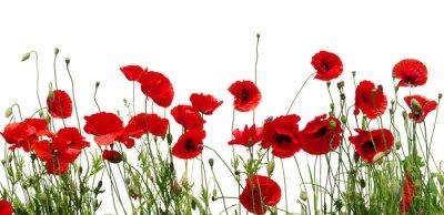 Fototapete Rote Mohnblumen auf weiß