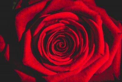Fototapete Rote Rose aus der Dunkelheit