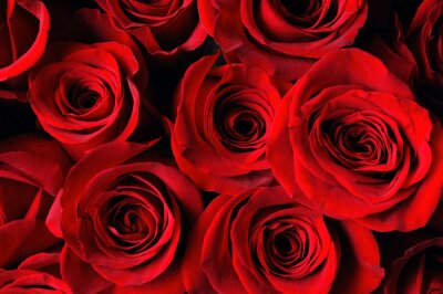 Fototapete Rote Rose Hintergrund
