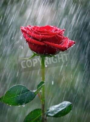 Fototapete Rote Rose mit Wassertropfen in den Regen
