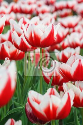 Rote Tulpen.