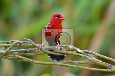 Roter Avadavat Vogel