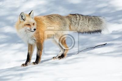 Roter Fuchs Im Winter Fototapete Fototapeten Rotfuchs Fox Canon