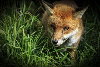 Fototapete Roter Fuchs (Vulpes vulpes)
