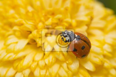 Roter Marienkäfer Auf Einer Gelben Blume Die Niederlande Fototapete