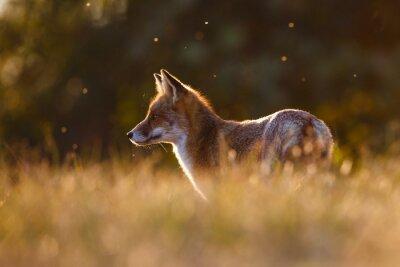 Fototapete Rotfuchs in schönes Licht