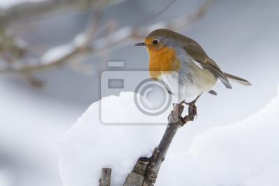Rougegorge familier en hiver sous la neige