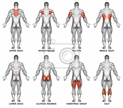 Rückprojektion des menschlichen körpers. zeigt muskelgruppen ...