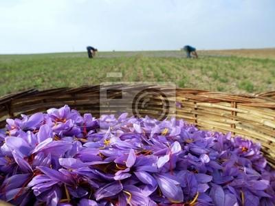 Safranblumen