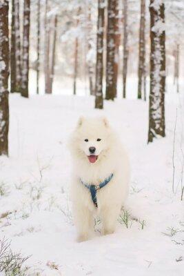 Fototapete Samoyed Hund Aufenthalt in einem verschneiten Wald