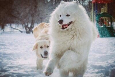 Fototapete Samoyed läuft im Winterpark
