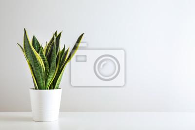 Fototapete Sansevieria plant in pot on white table