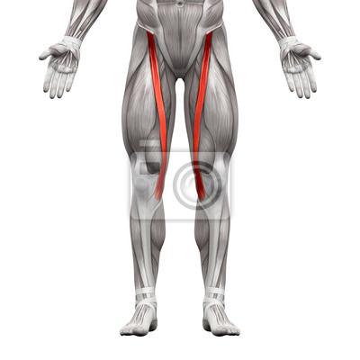 Sartorius muskel - anatomie muskeln isoliert auf weiß fototapete ...