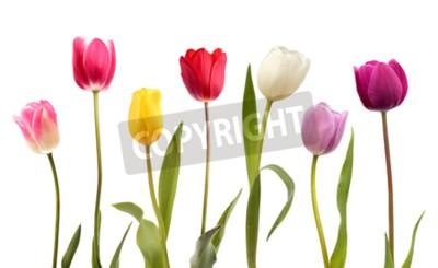Fototapete Satz von sieben verschiedenen Farbtulpeblumen lokalisiert auf weißem Hintergrund