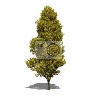 Sauleneiche Quercus Robur Fastigiata Herbst Fototapete