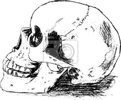 Schädel anatomie fototapete • fototapeten Schädel, Anatomie, Schädel ...