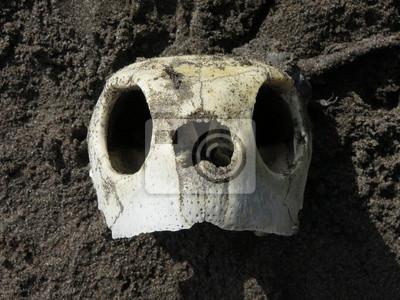 Schädel der schildkröte fototapete • fototapeten Schädelbasis ...