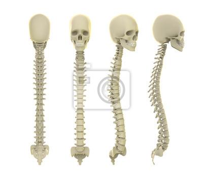 Schädel und wirbelsäule anatomie fototapete • fototapeten medicals ...