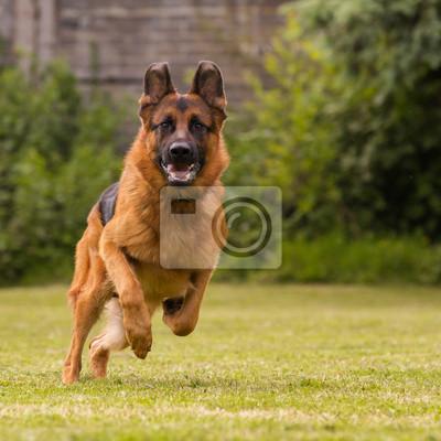Fototapete Schaeferhund laeuft