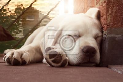 Schlafender Labrador Welpe an einer Wand lehnend bei Sonnenuntergang