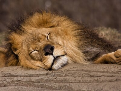 Fototapete Schlafender Löwe