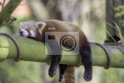 Fototapete Schlafender roter Panda. Lustiges süßes Tierbild.
