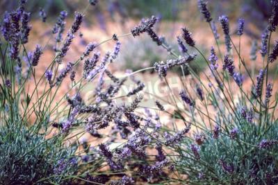 Fototapete Schließen Sie oben vom Lavendelfeld. Blur gefiltert Shot mit selektiven Fokus