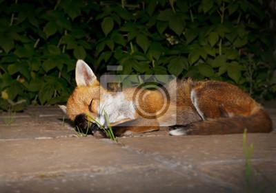 Schließen Sie Oben Von Einem Roten Fuchs Der Im Garten Schläft