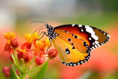 Fototapete Schmetterling auf orange Blume im Garten
