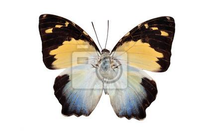 Schmetterling (calydonia) isoliert auf weißem Hintergrund
