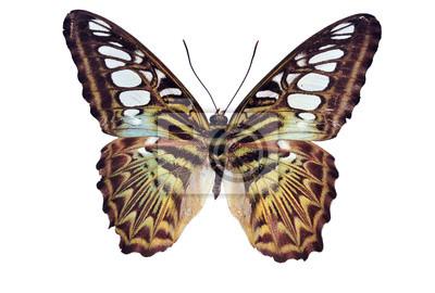 Schmetterling (Clipper) isoliert auf weißem Hintergrund