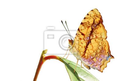 Schmetterling (gemeinsame cunchinello) auf Blatt, isoliert auf weiss