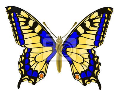 Schmetterling Papilio machaon Linnaeus