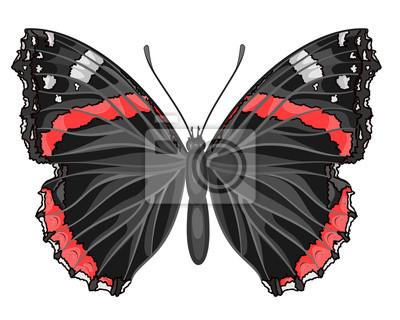 Schmetterling Vanessa atalanta