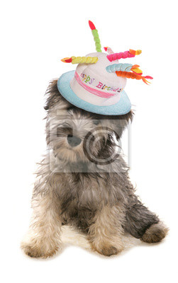 Fototapete Schnauzer Puppy Dog Wearing A Birthday Hat